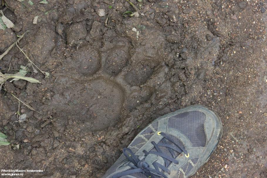 Тигриный след